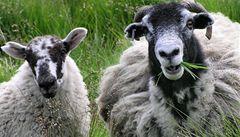 Farmář už své ovce nepočítá, 'volají' mu na mobil